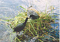 A coot family on a nest.jpg