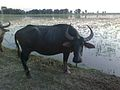 A domestic buffalo in Assam.jpg
