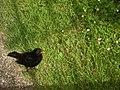 A fearless blackbird - geograph.org.uk - 1370103.jpg