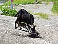 A female goat with newborn kids at Orchid Island 20100913.jpg
