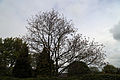 A garden tree at Housham Tye, Essex, England.jpg