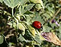 A little red ladybug.jpg