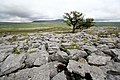 A lonesome tree on Limestone Pavement - geograph.org.uk - 1316251.jpg