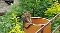 A monkey on Garbage at Lakkam water falls.jpg