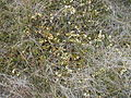 A myrtifolia prostrate Catho orig.jpg