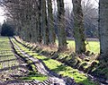 A poplar-lined farm track - geograph.org.uk - 1127122.jpg