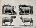 A ram and ewe of the Cheviot and Dorset breeds of sheep. Etc Wellcome V0021714.jpg