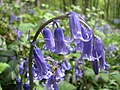 A real English bluebell in Lanacre Wood - geograph.org.uk - 772332.jpg