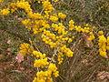 Acacia pravissima (5055956722).jpg