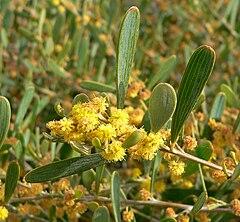 240px acacia redolens 5