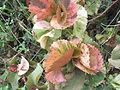 Acalypha wilkesiana tricolor-1-yercaud-salem-India.JPG