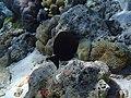 Acanthurus nigrofuscus Maldives.JPG