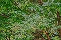 Acer griseum 03.jpg