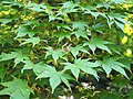 Acer palmatum Klon palmowy 2019-05-26 05.jpg
