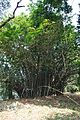 Acharya Jagadish Chandra Bose Indian Botanic Garden - Howrah 2011-01-08 9793.JPG
