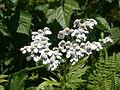 Achillea macrophylla flowers.jpg