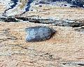 Acleris sparsana (21805675086).jpg
