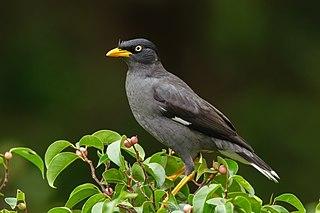 Javan myna species of bird
