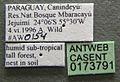 Acromyrmex coronatus casent0173791 label 1.jpg