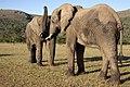 Addo Elephant Park, Eastern Cape (6252666313).jpg