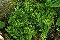Adiantum capillus-veneris, Conservatoire botanique national de Brest 02.jpg