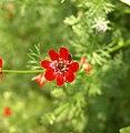 Adonis aestivalis inflorescence (27).jpg