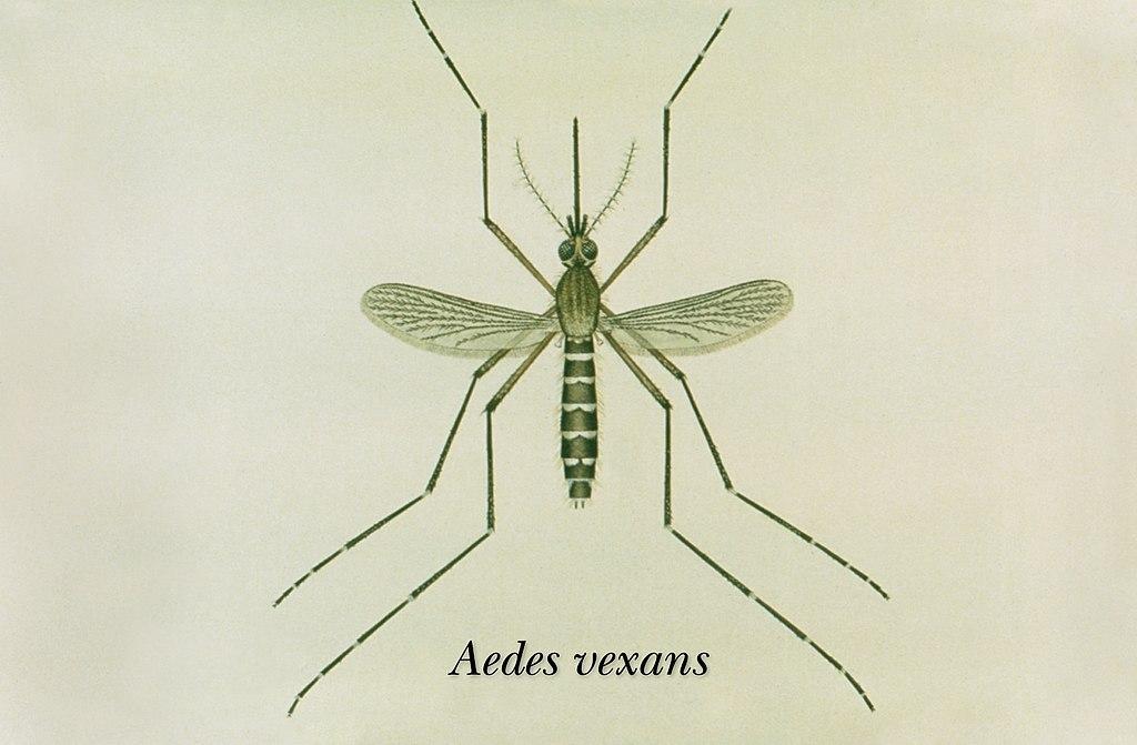 Komár útočný (lat. Aedes vexans)