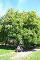 Aesculus hippocastanum - City Park in Lučenec (1).jpg