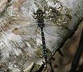 Aeshna juncea (Common Hawker) - male - Flickr - S. Rae.jpg