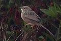 Afghan Babbler.jpg