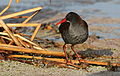 African Rail, Rallus caerulescens at Marievale Nature Reserve, Gauteng, South Africa (21238649732).jpg
