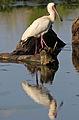 African Spoonbill, Platalea alba at Rietvlei Nature Reserve, Gauteng, South Africa (22183741534).jpg