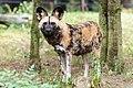 African Wild Dog (8045770656).jpg