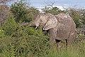 African bush elephant (Loxodonta africana) browsing Etosha.jpg