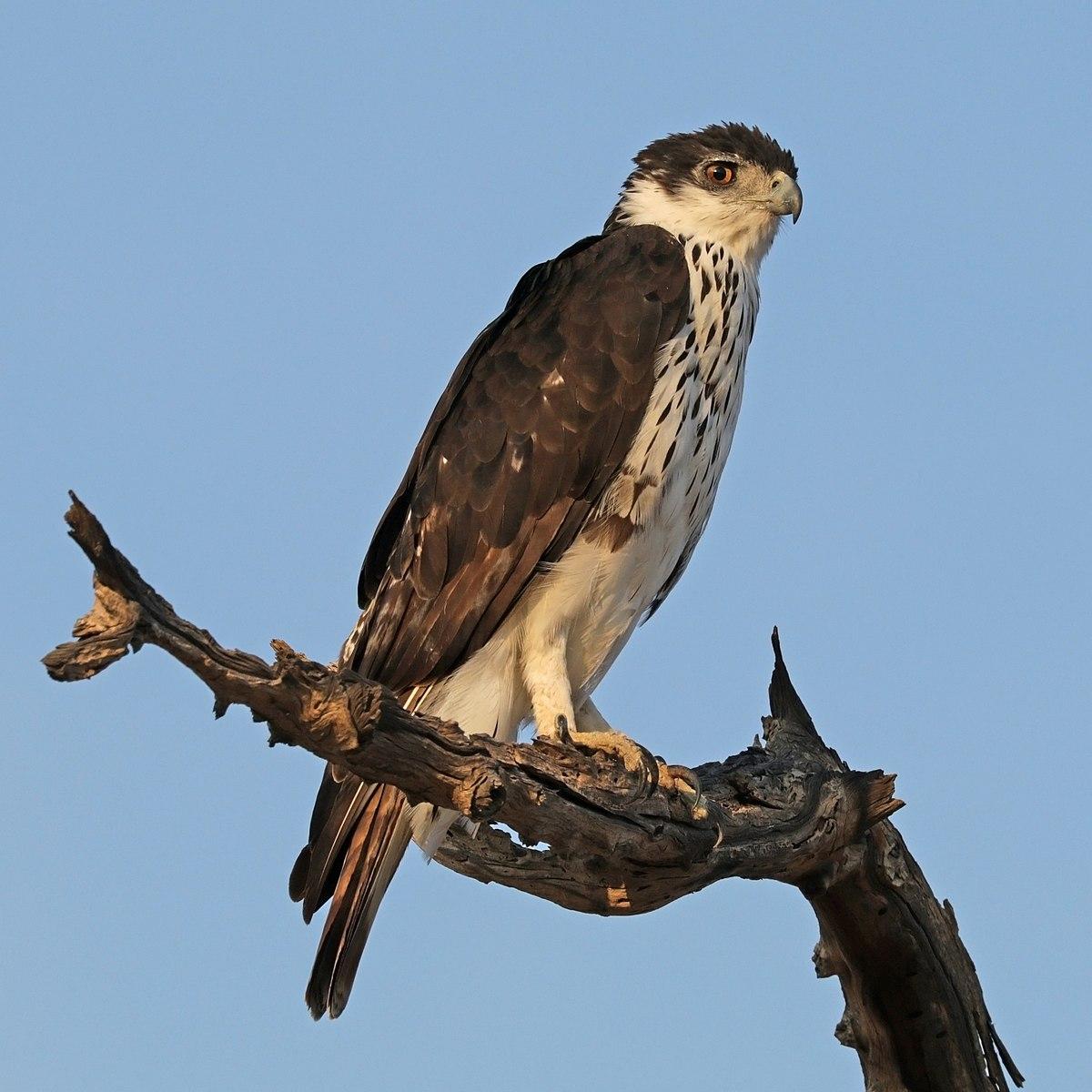 African eagle hawk