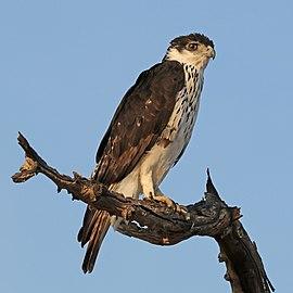 African hawk eagle (Aquila spilogaster).jpg