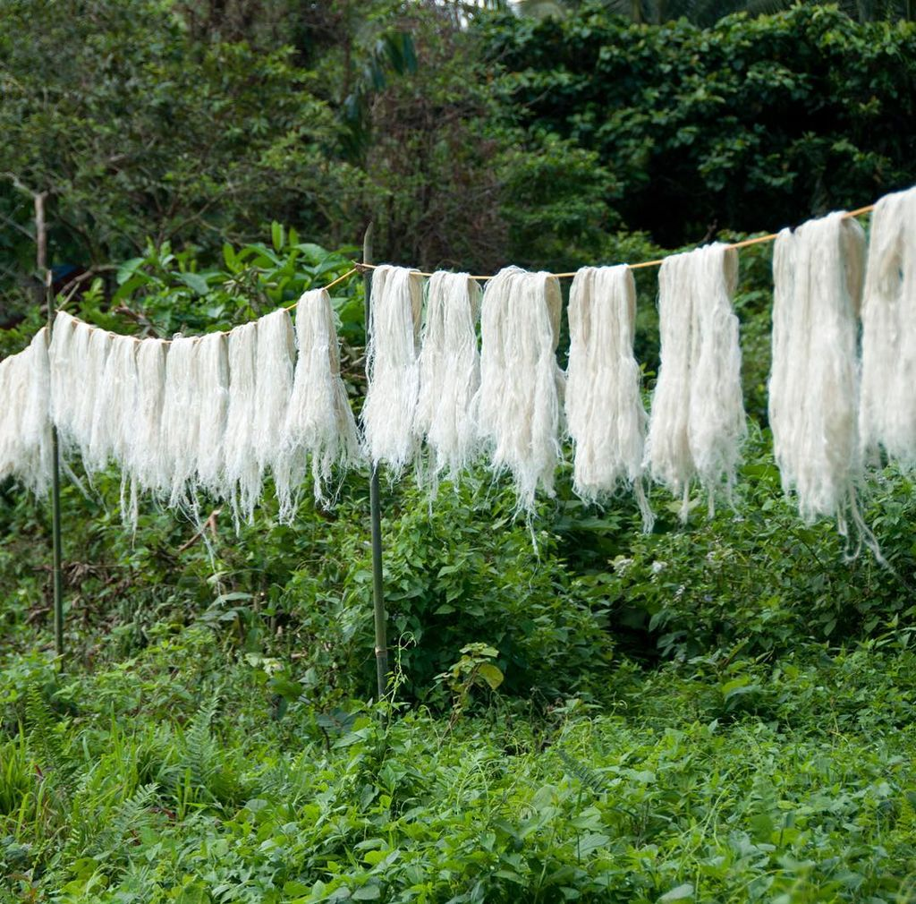 After the fibre from the pineapple leaves is decorticated and washed the farmers hang it up to dry