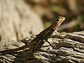 Agama planiceps (female head) - Kunene.jpg