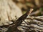 Agama planiceps (female head) - Kunene.jpg