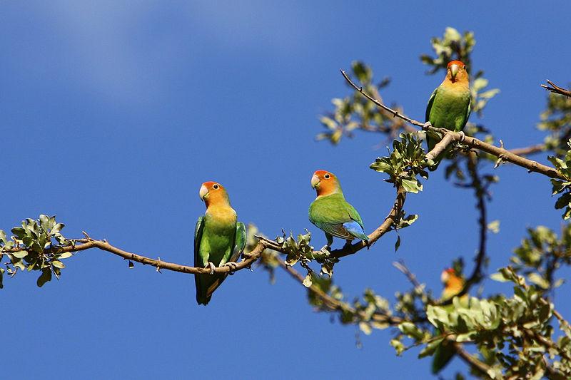 File:Agapornis roseicollis -Etosha National Park, Namibia-8.jpg