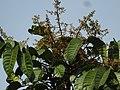Aglaia spectabilis flowering2433.jpg