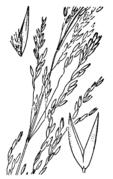 Agrostis hallii drawing.png