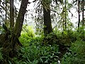 Alaskan Rainforest - panoramio.jpg