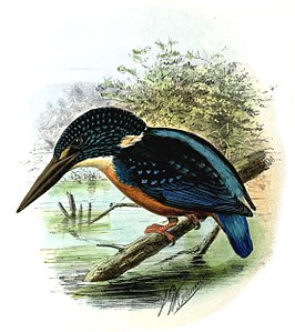Afbeelding van John Gerrard Keulemans uit A Monograph of The Alcedinidae, or Family of Kingfishers (1868–1871)