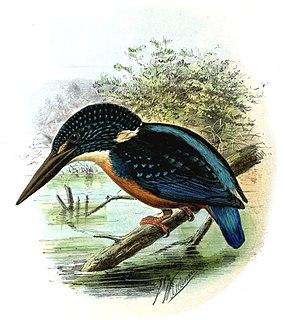 Blyths kingfisher species of bird