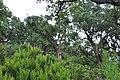 Alcornoque y erica arborea.JPG