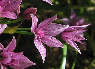 Allium praecox - Image: Alliumpraecox