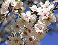 Almond Bloom in Butte County, 2021-5094.jpg