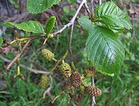 Alnus rhombifolia NPS