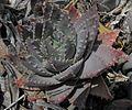 Aloebrevifolia2.JPG